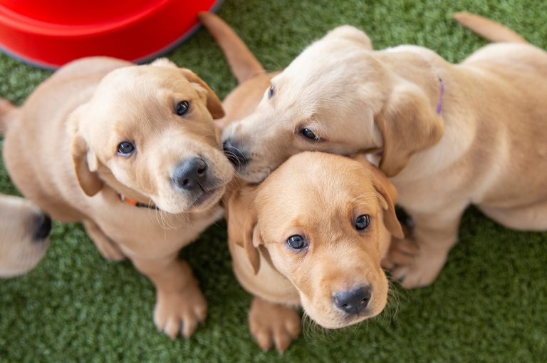 Queensland spirit shines through for newest litter of guide dog puppies