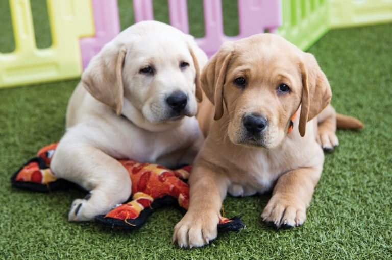 Two yellow eight week old labrador puppies sitting on some grass looking at the camera. One of the puppies has a dog toy under its front paw.