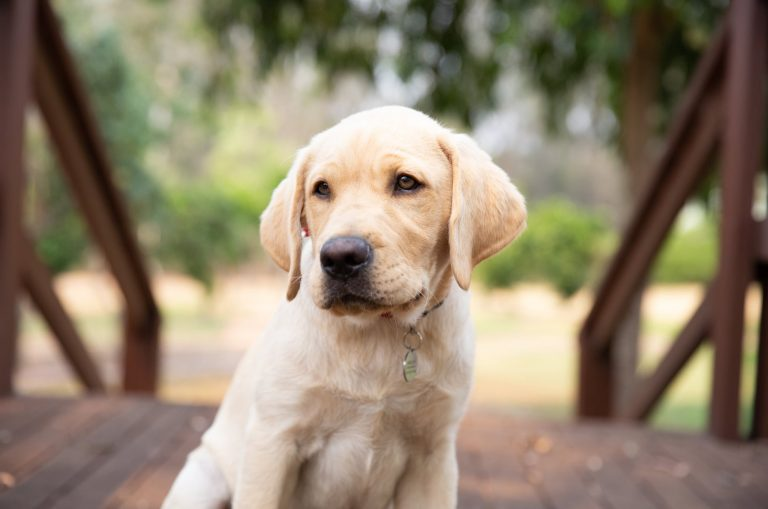 A yellow eight week old labrador puppy is sitting outside looking at the camera.