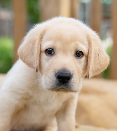 A yellow seven week old labrador puppy sitting outside looking at the camera.